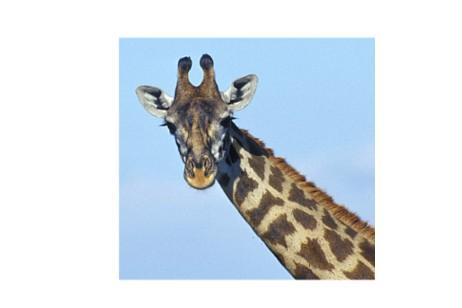 giraffe03.jpg
