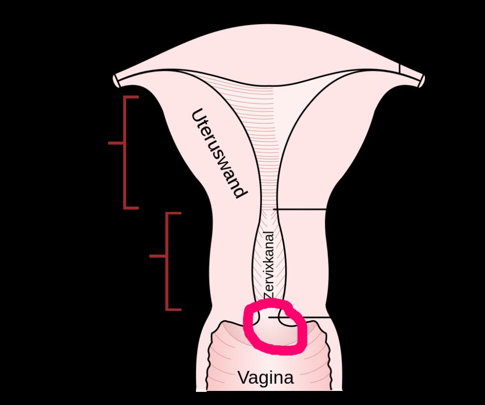 gebärmutter.png